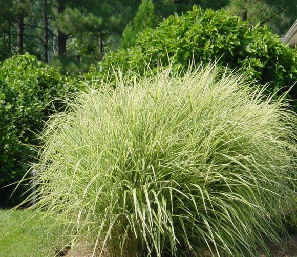 Carlson design a boutique landscape design firm for Variegated ornamental grass